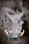 Mini zoosodas, safaris, iškamšų muziejus Karklėje viešbutyje Gamtos perlas *** - 9
