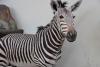 Mini zoosodas, safaris, iškamšų muziejus Karklėje viešbutyje Gamtos perlas *** - 7
